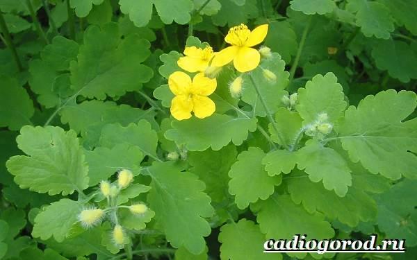 Чистотел-растение-Описание-особенности-и-виды-чистотела-1