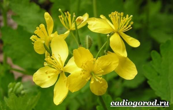 Чистотел-растение-Описание-особенности-и-виды-чистотела-3