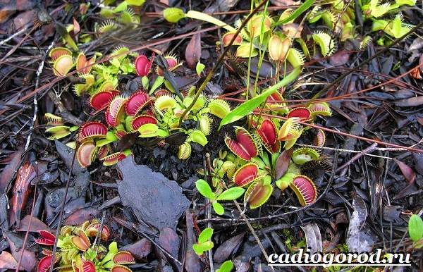 Дионея-цветок-Выращивание-дионеи-Уход-за-дионеей-4