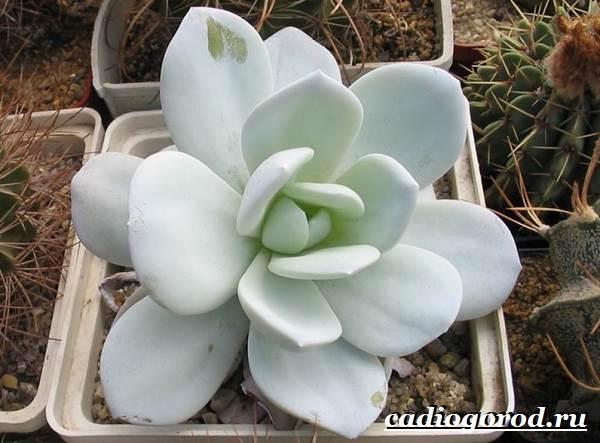 Эхеверия-цветок-Выращивание-эхеверии-Уход-за-эхеверией-10