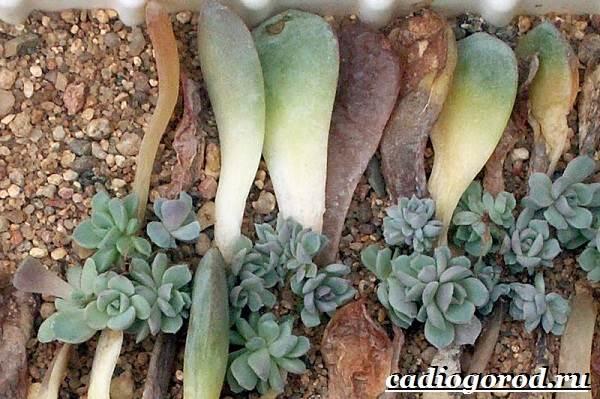 Эхеверия-цветок-Выращивание-эхеверии-Уход-за-эхеверией-4