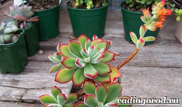 Эхеверия-цветок-Выращивание-эхеверии-Уход-за-эхеверией-7