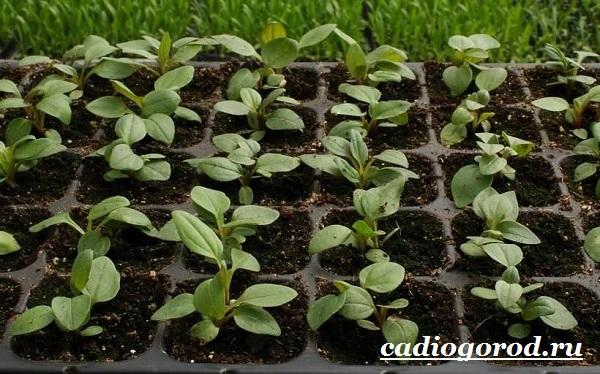 Эхинацея-трава-Выращивание-эхинацеи-Виды-и-польза-эхинацеи-14