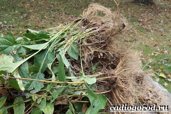 Эхинацея-трава-Выращивание-эхинацеи-Виды-и-польза-эхинацеи-18
