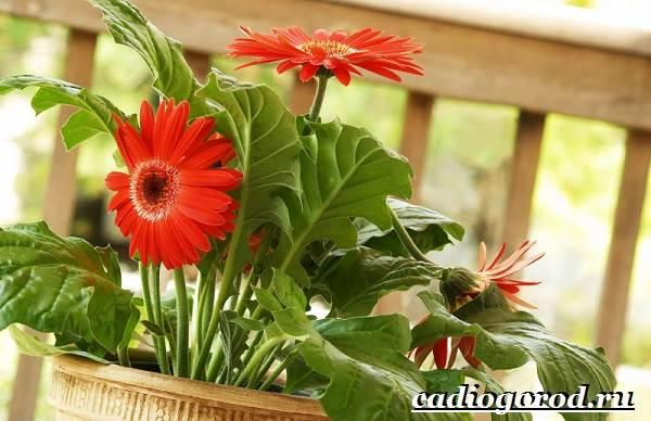 Герберы-цветы-Выращивание-гербер-Уход-за-герберами-2