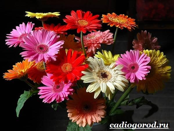 Герберы-цветы-Выращивание-гербер-Уход-за-герберами-4