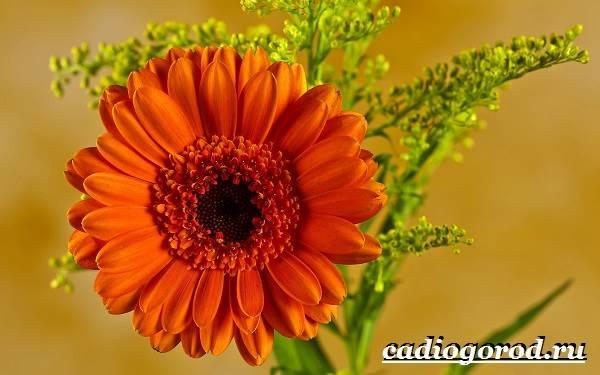 Герберы-цветы-Выращивание-гербер-Уход-за-герберами-5