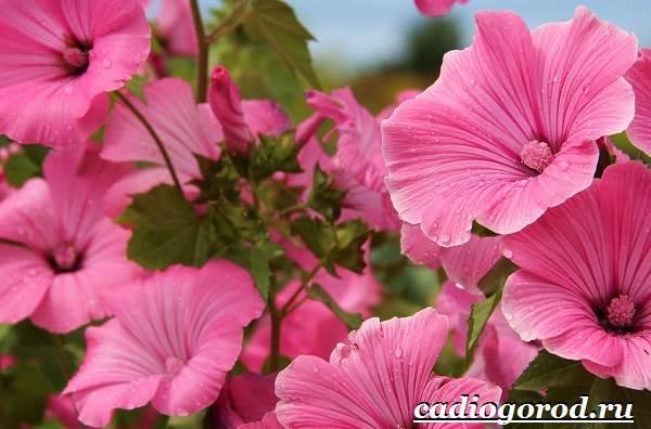 Гибискус-цветок-Выращивание-гибискуса-Уход-за-гибискусом-1