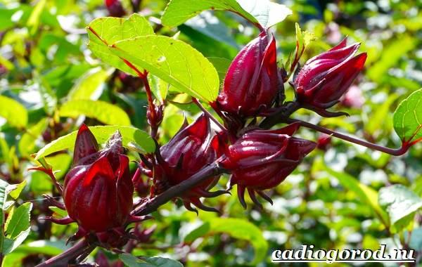 Гибискус-цветок-Выращивание-гибискуса-Уход-за-гибискусом-10