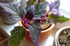 Гинура цветок. Выращивание гинуры. Уход за гинурой