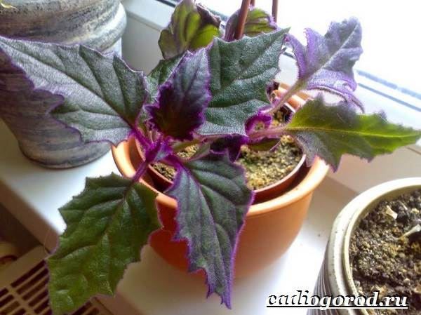 Гинура-цветок-Выращивание-гинуры-Уход-за-гинурой-1
