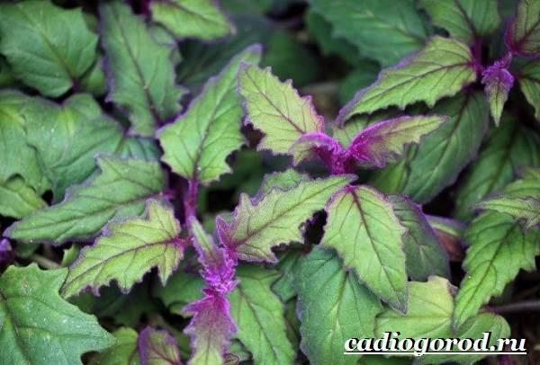 Гинура-цветок-Выращивание-гинуры-Уход-за-гинурой-3