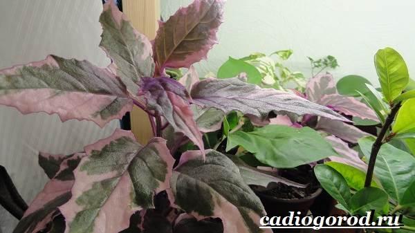 Гинура-цветок-Выращивание-гинуры-Уход-за-гинурой-6