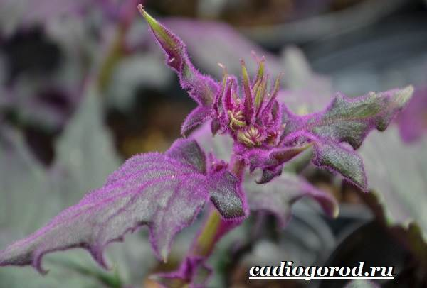 Гинура-цветок-Выращивание-гинуры-Уход-за-гинурой-7