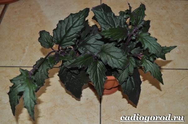 Гинура-цветок-Выращивание-гинуры-Уход-за-гинурой-8