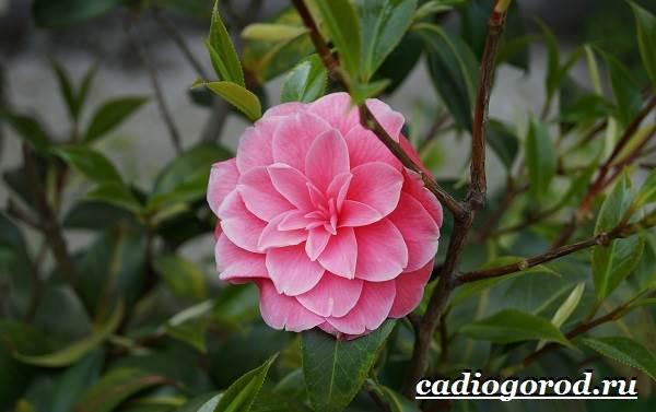 Камелия-цветок-Выращивание-камелии-Уход-за-камелией-10