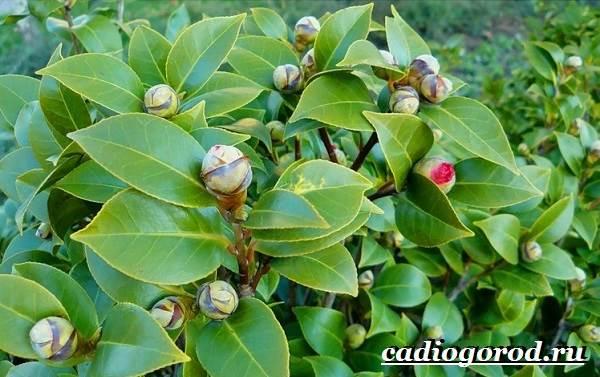 Камелия-цветок-Выращивание-камелии-Уход-за-камелией-12