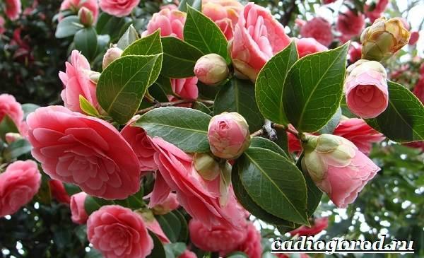 Камелия-цветок-Выращивание-камелии-Уход-за-камелией-2