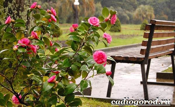 Камелия-цветок-Выращивание-камелии-Уход-за-камелией-7