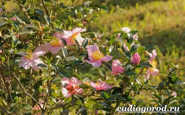 Камелия-цветок-Выращивание-камелии-Уход-за-камелией-8