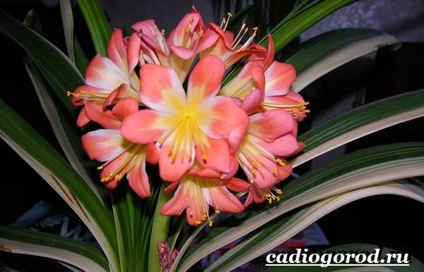 Кливия-цветок-Выращивание-кливии-Уход-за-кливией-1