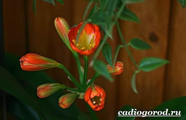 Кливия-цветок-Выращивание-кливии-Уход-за-кливией-2