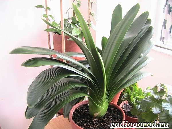 Кливия-цветок-Выращивание-кливии-Уход-за-кливией-7