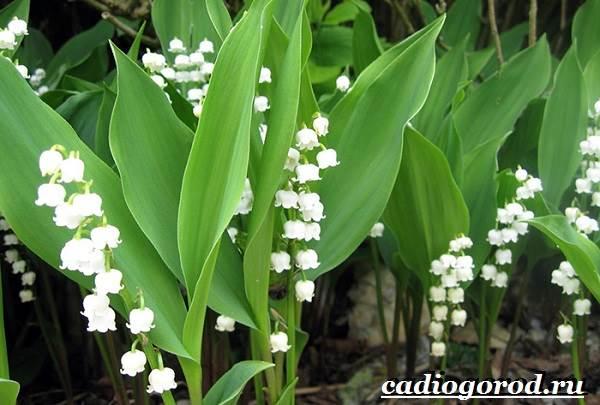 Ландыш-цветок-Описание-особенности-уход-и-выращивание-ландышей-4