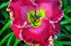 Лилейник цветок. Выращивание лилейника. Уход за лилейником