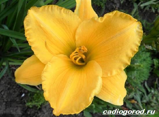 Лилейник-цветок-Выращивание-лилейника-Уход-за-лилейником-6