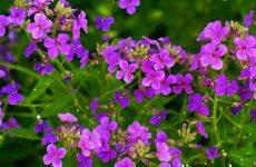 Ночная фиалка цветок. Выращивание ночной фиалки. Уход за ночной фиалкой