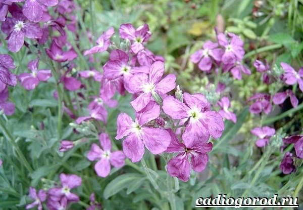 Ночная-фиалка-цветок-Выращивание-ночной-фиалки-Уход-за-ночной-фиалкой-2