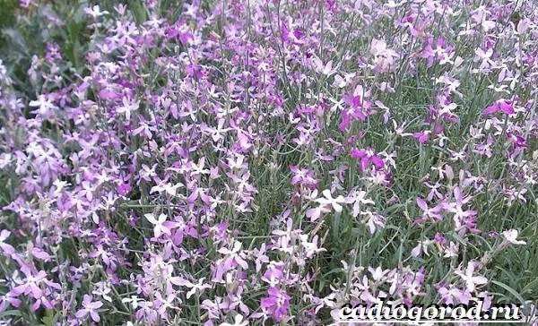 Ночная-фиалка-цветок-Выращивание-ночной-фиалки-Уход-за-ночной-фиалкой-4