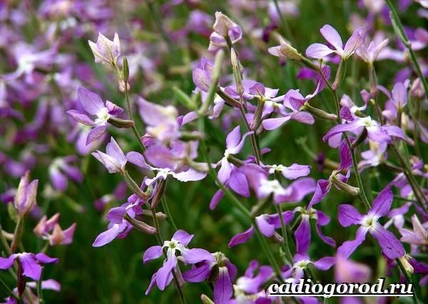 Ночная-фиалка-цветок-Выращивание-ночной-фиалки-Уход-за-ночной-фиалкой-7