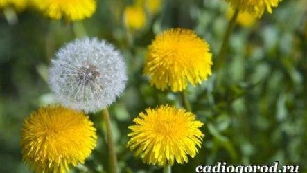 Одуванчик растение. Описание, особенности, лечебные свойства и применение одуванчика