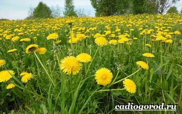 Одуванчик-растение-Описание-особенности-лечебные-свойства-и-применение-одуванчика-5