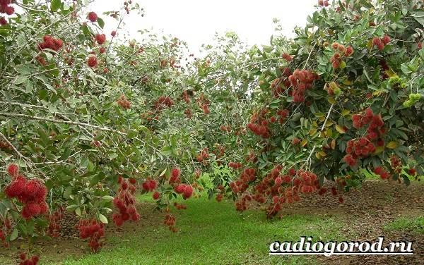 Рамбутан-фрукт-Выращивание-рамбутана-Свойства-рамбутана-5