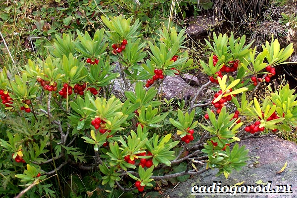 Растения-Красной-книги-12