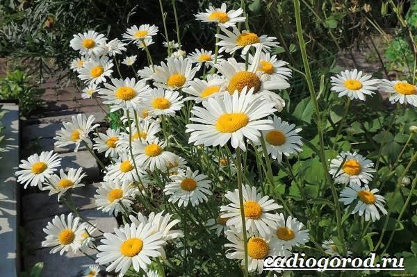 Ромашка-садовая-цветок-Выращивание-ромашки-садовой-Уход-за-ромашкой-садовой-10