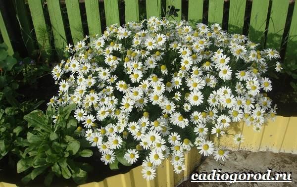 Ромашка-садовая-цветок-Выращивание-ромашки-садовой-Уход-за-ромашкой-садовой-11