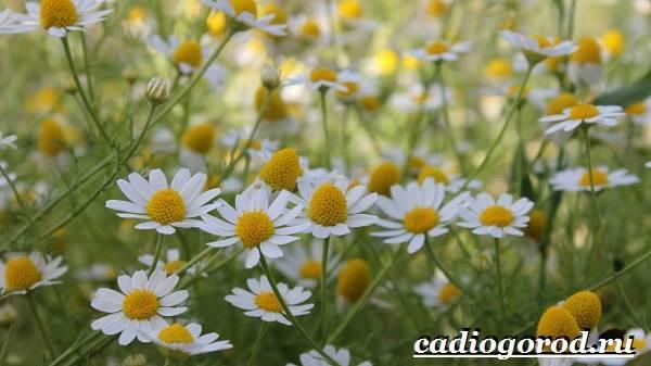 Ромашка-садовая-цветок-Выращивание-ромашки-садовой-Уход-за-ромашкой-садовой-2