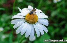 Ромашка садовая цветок. Выращивание и уход