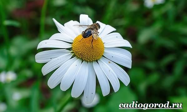 Ромашка-садовая-цветок-Выращивание-ромашки-садовой-Уход-за-ромашкой-садовой-5