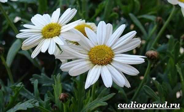 Ромашка-садовая-цветок-Выращивание-ромашки-садовой-Уход-за-ромашкой-садовой-7