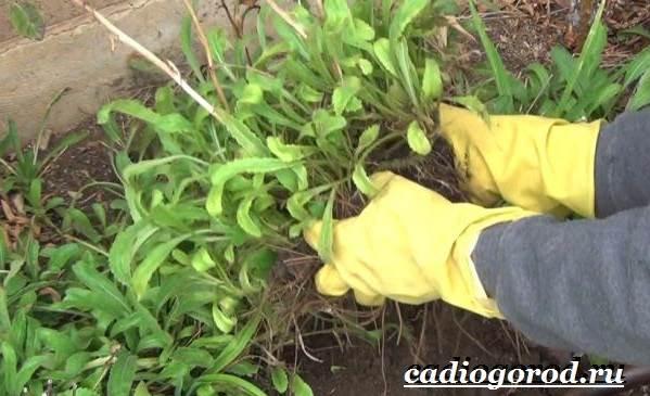 Ромашка-садовая-цветок-Выращивание-ромашки-садовой-Уход-за-ромашкой-садовой-9