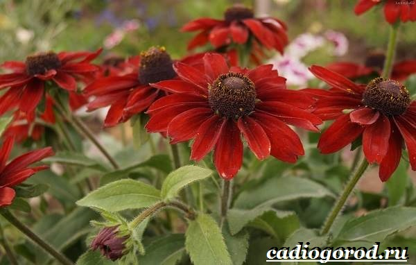 Рудбекия-цветок-Выращивание-рудбекии-Уход-за-рудбекией-1