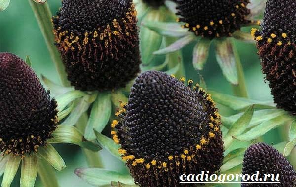 Рудбекия-цветок-Выращивание-рудбекии-Уход-за-рудбекией-12
