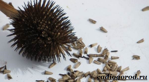 Рудбекия-цветок-Выращивание-рудбекии-Уход-за-рудбекией-16