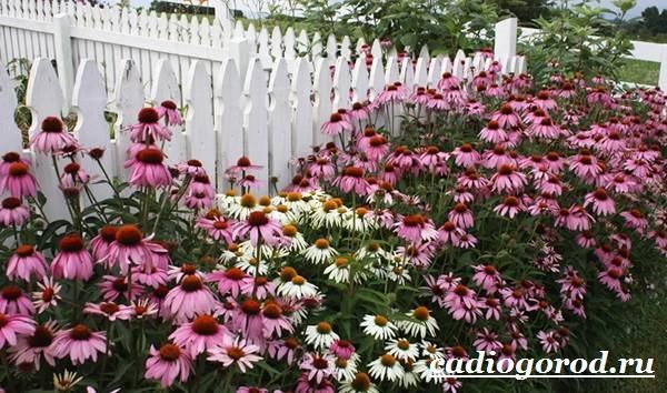 Рудбекия-цветок-Выращивание-рудбекии-Уход-за-рудбекией-18