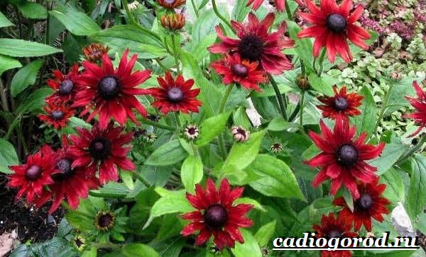 Рудбекия-цветок-Выращивание-рудбекии-Уход-за-рудбекией-2